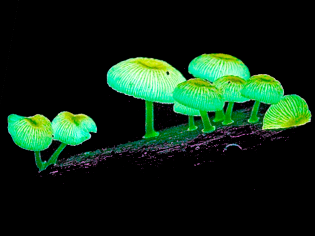 Bioluminescence of living organisms
