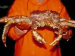 Crab Stalin or crab giant