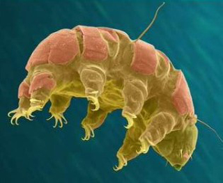 tardigrade, water bear