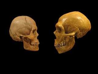 Comparison of a skull of modern man and a Neanderthal man